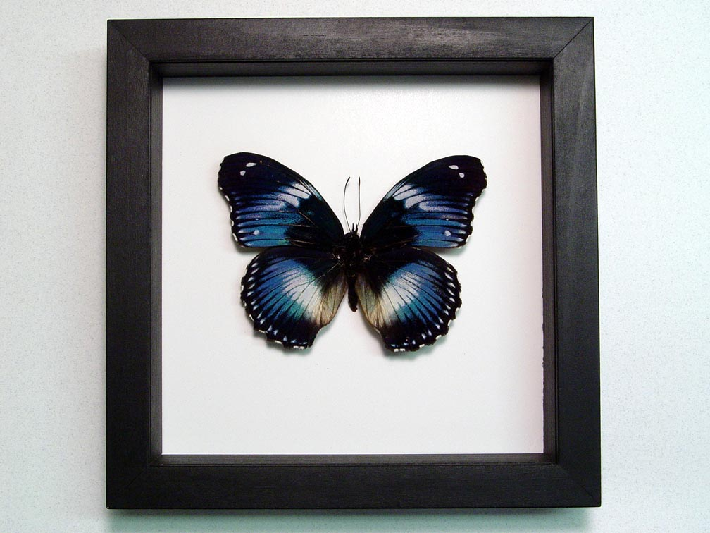 Hypolimnas salamacis Blue Diadem Butterfly Classic Black Display