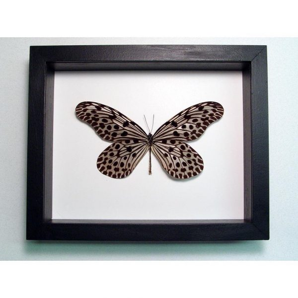 Idea lynceus Spotted Rice Paper Butterfly Classic Black Display