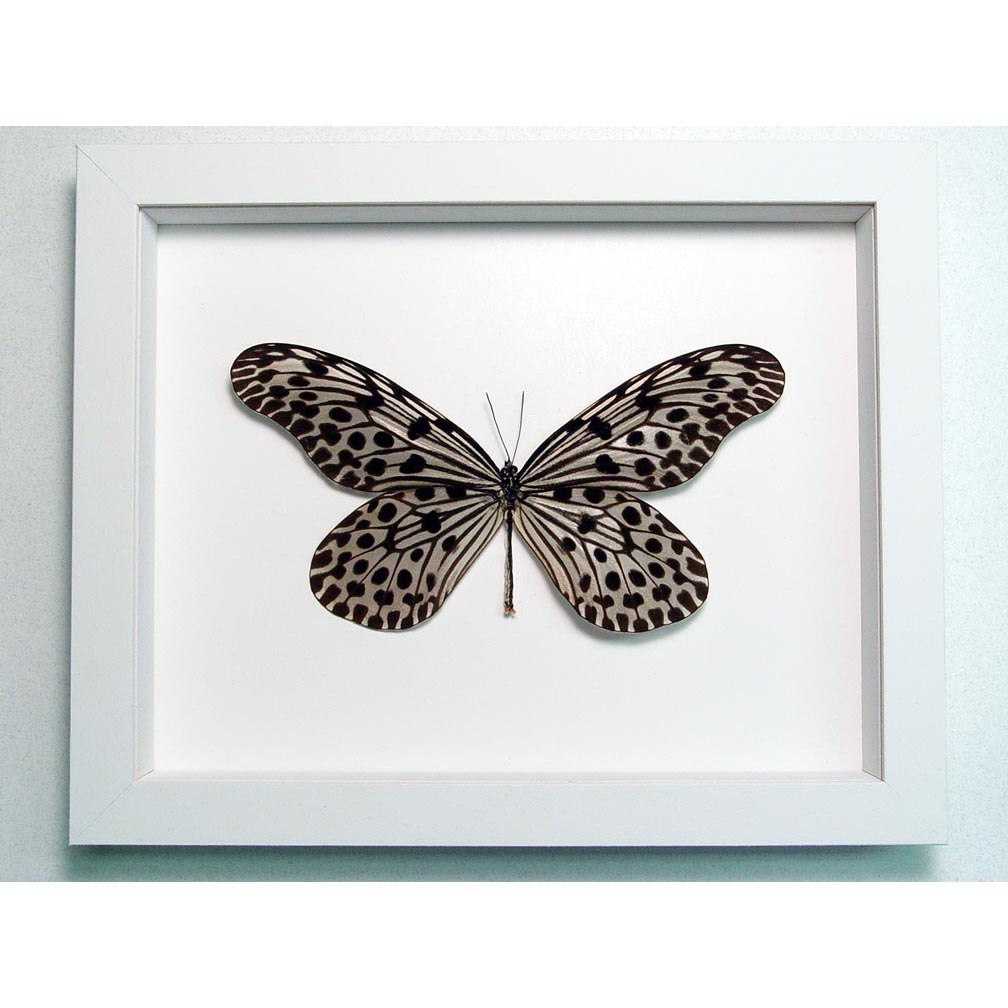 Idea lynceus Spotted Rice Paper Butterfly Vibrant White Display