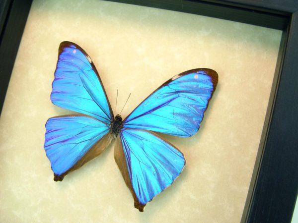 Morpho Aega Blue Morpho Framed Butterfly ooak