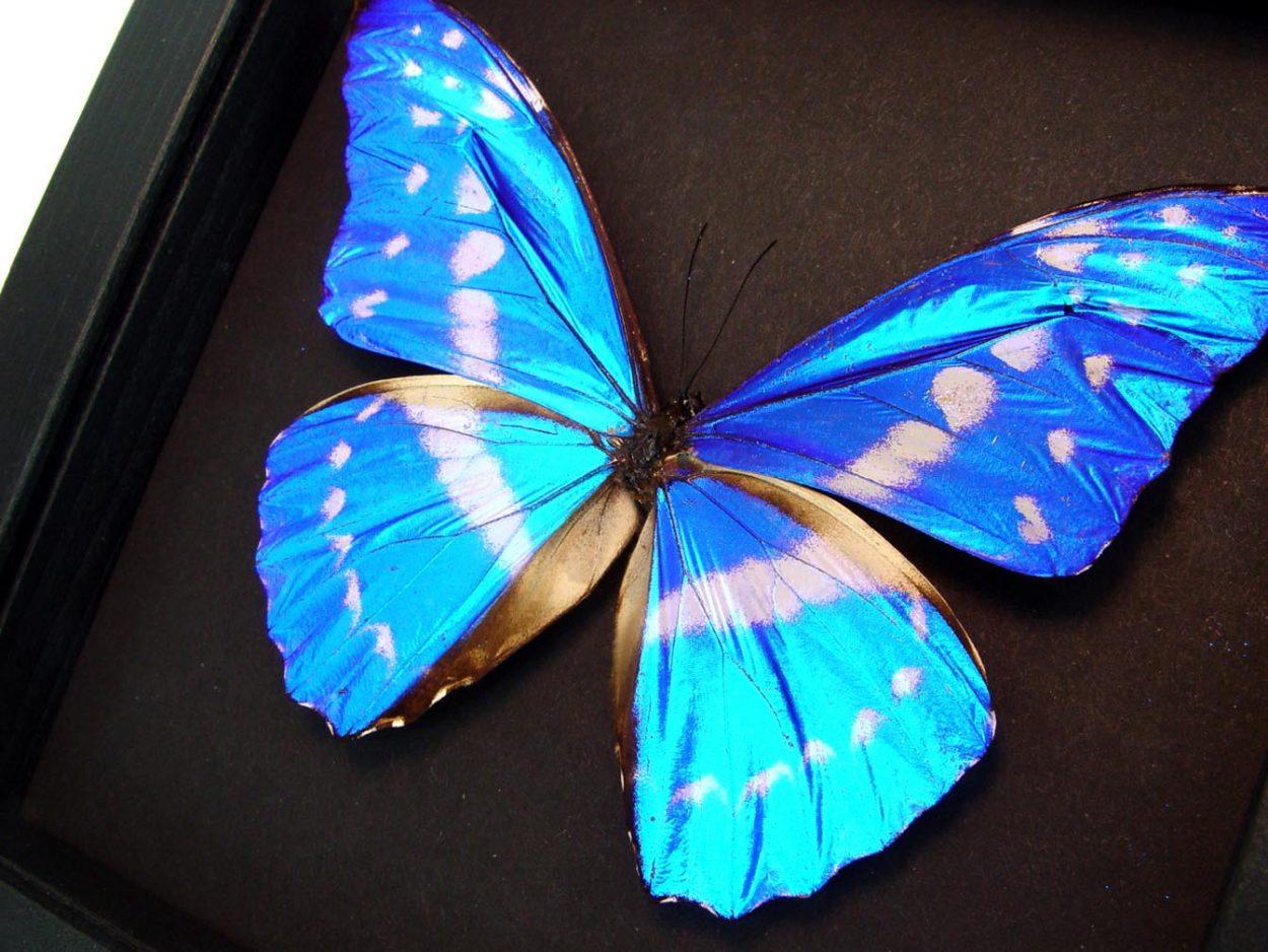 Morpho cypris Blue Morpho Butterfly Moonlight Display ooak