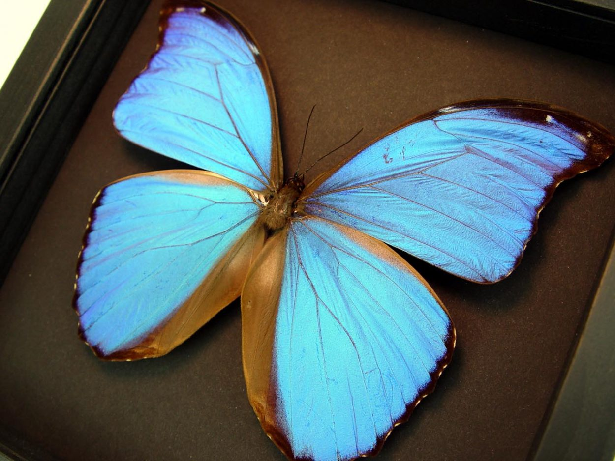 Morpho didius Giant Blue Morpho Moonlight Display ooak