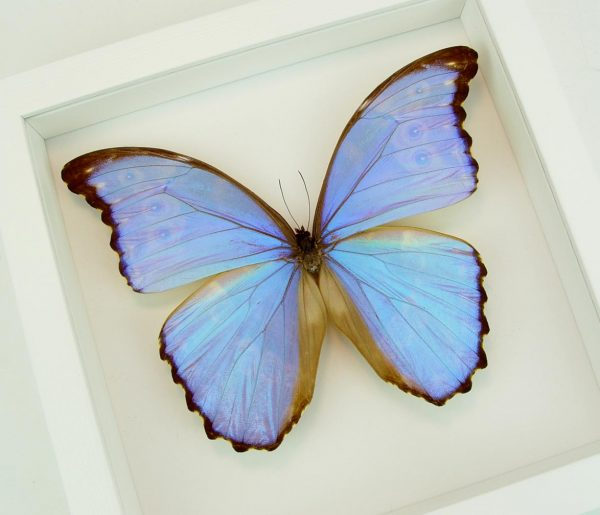 Mother's Day Butterfly Giant Purple Morpho Vibrant White Displays
