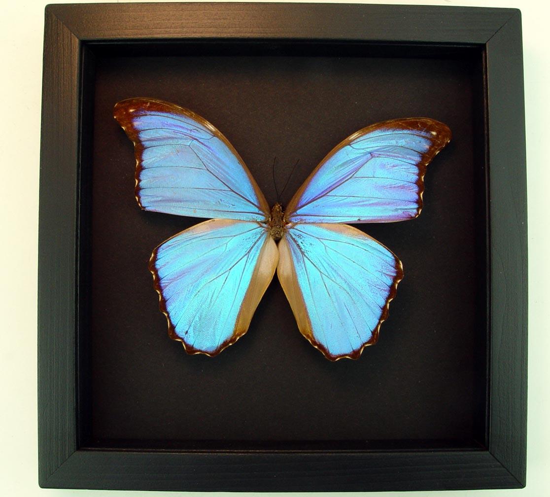 Morpho godarti Framed Morpho Butterfly Moonlight Display ooak