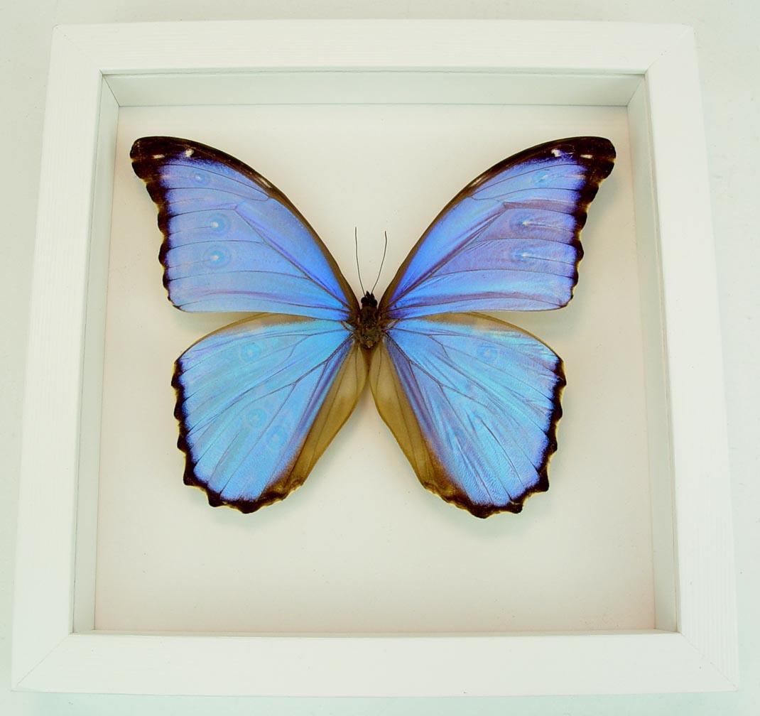 Morpho godarti Framed Morpho Butterfly Vibrant White Displays