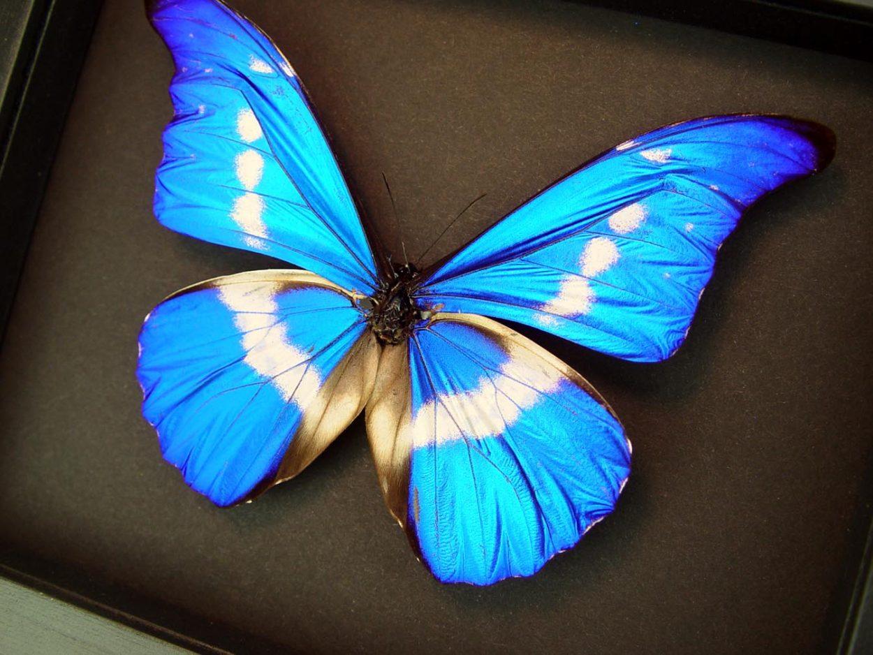 Framed Morpho Butterfly Morpho rhetenor helena Moonlight Display ooak