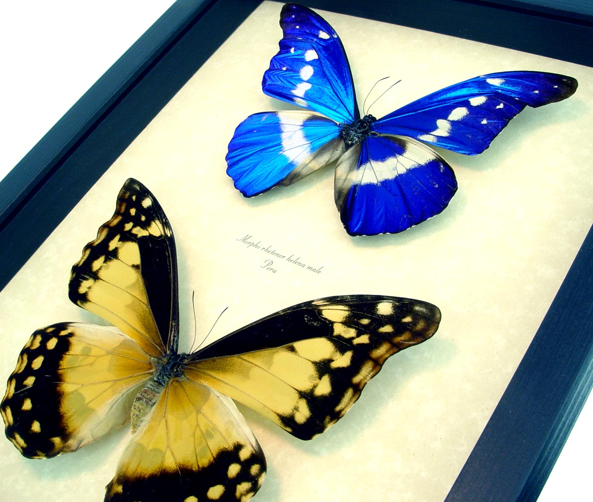 Morpho rhetenor helena Pair Rare Blue Morpho Butterflies ooak