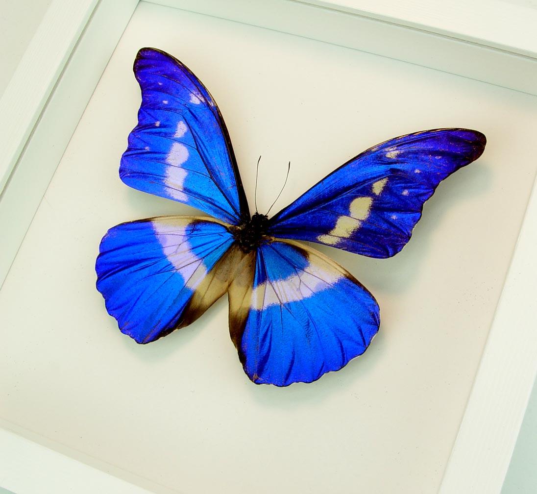 Framed Morpho Butterfly Morpho rhetenor helena Vibrant White Displays