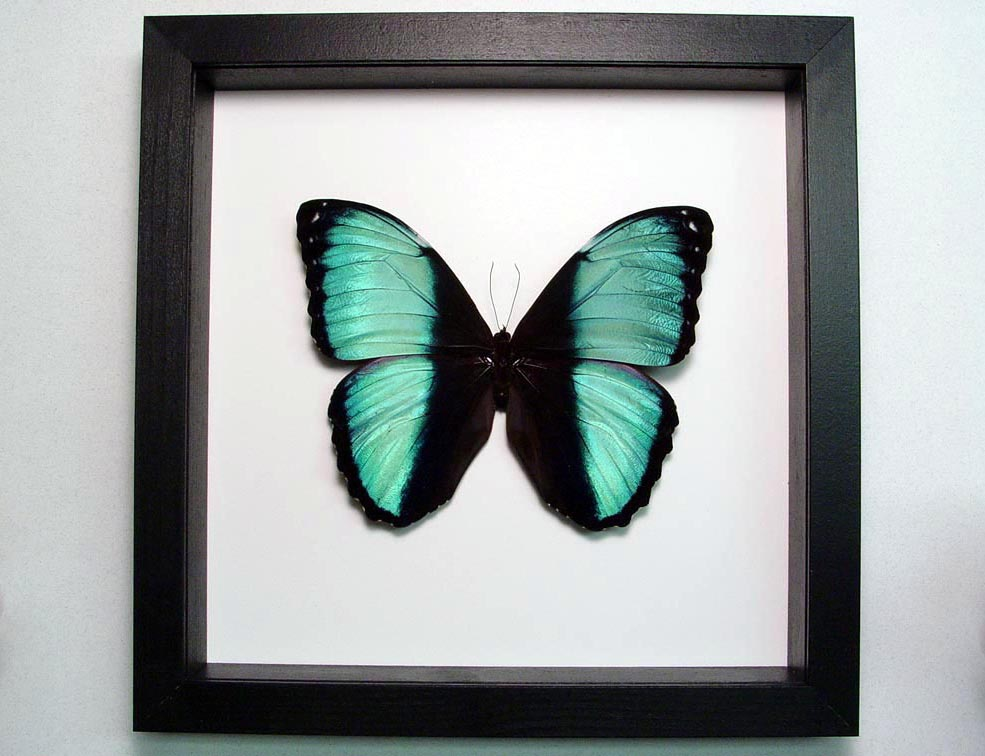 Morpho helenor Banded Blue Butterfly Classic Black Display