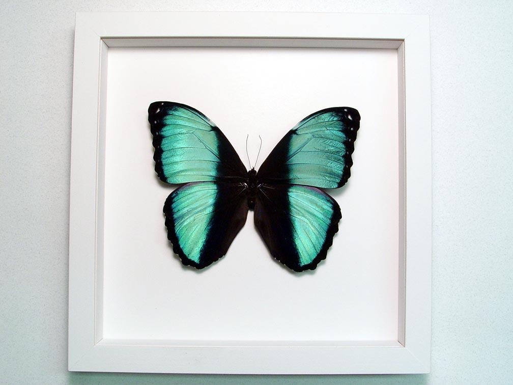 Morpho helenor Banded Blue Butterfly Vibrant White Display