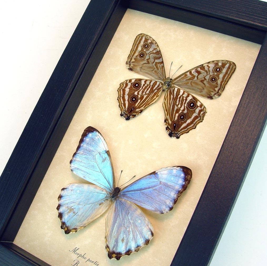 Morpho portis set Glowing Blue Morpho Butterflies ooak