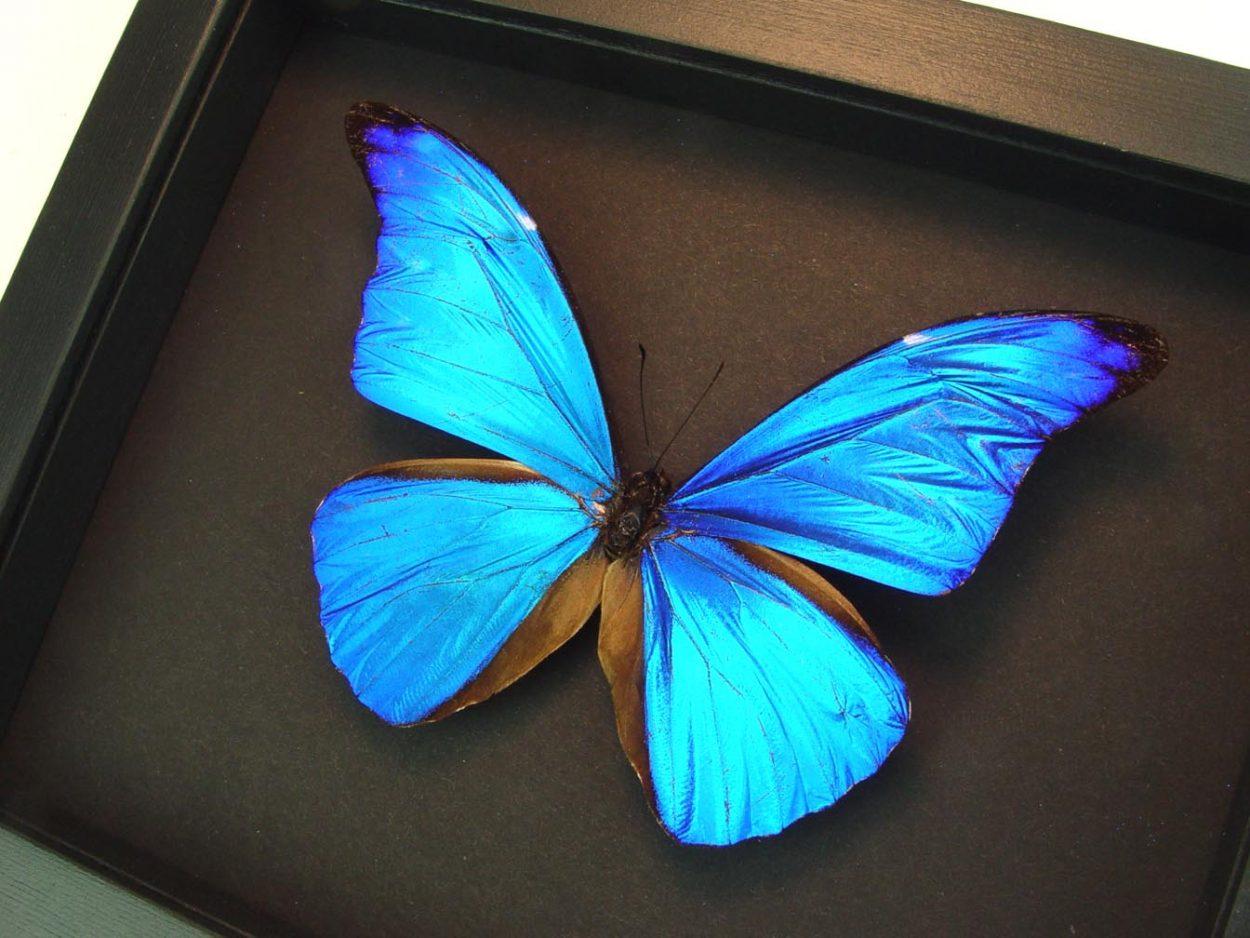 Morpho rhetenor Blue Morpho Butterfly Moonlight Display ooak