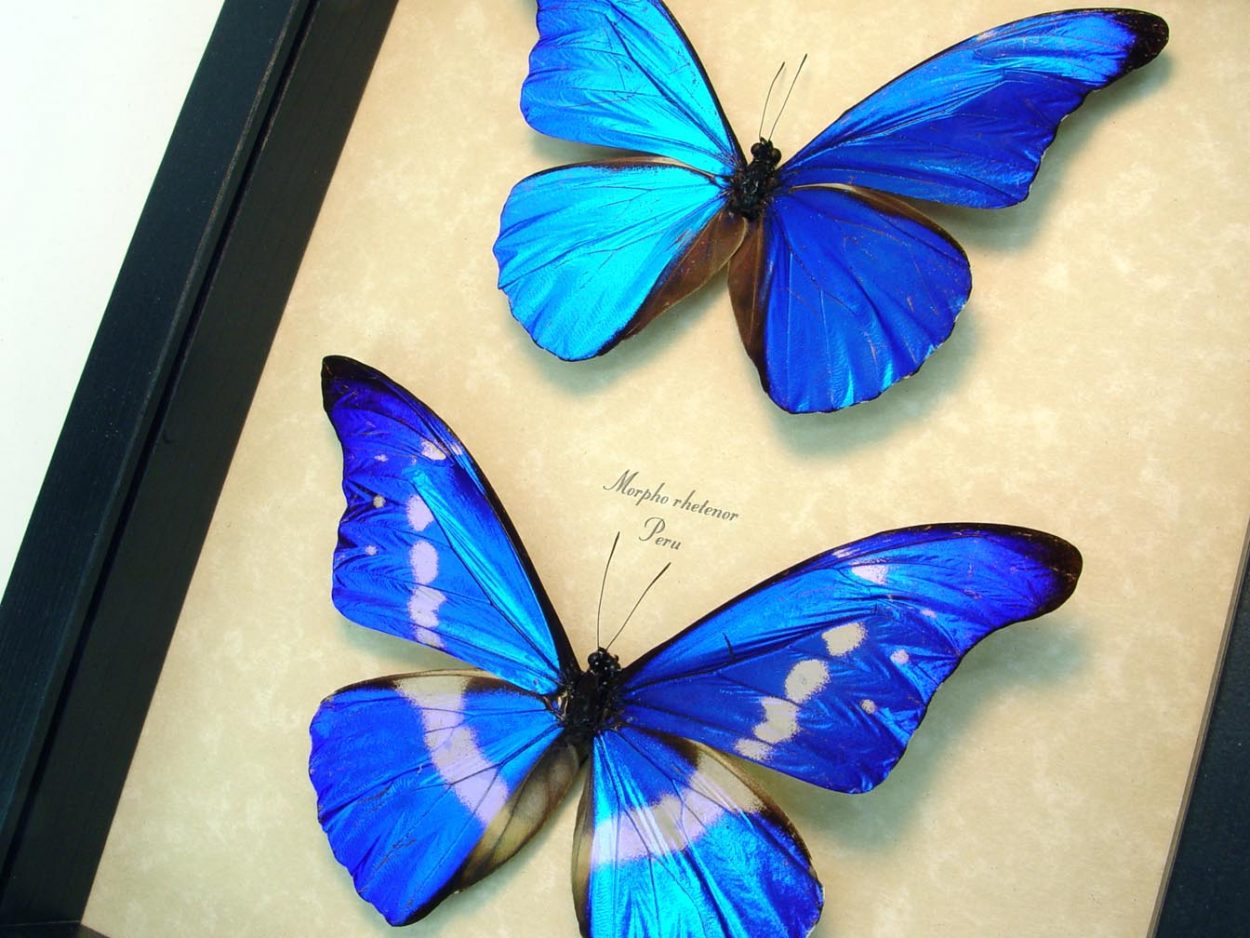 Framed Blue Morpho Butterfly Set ooak
