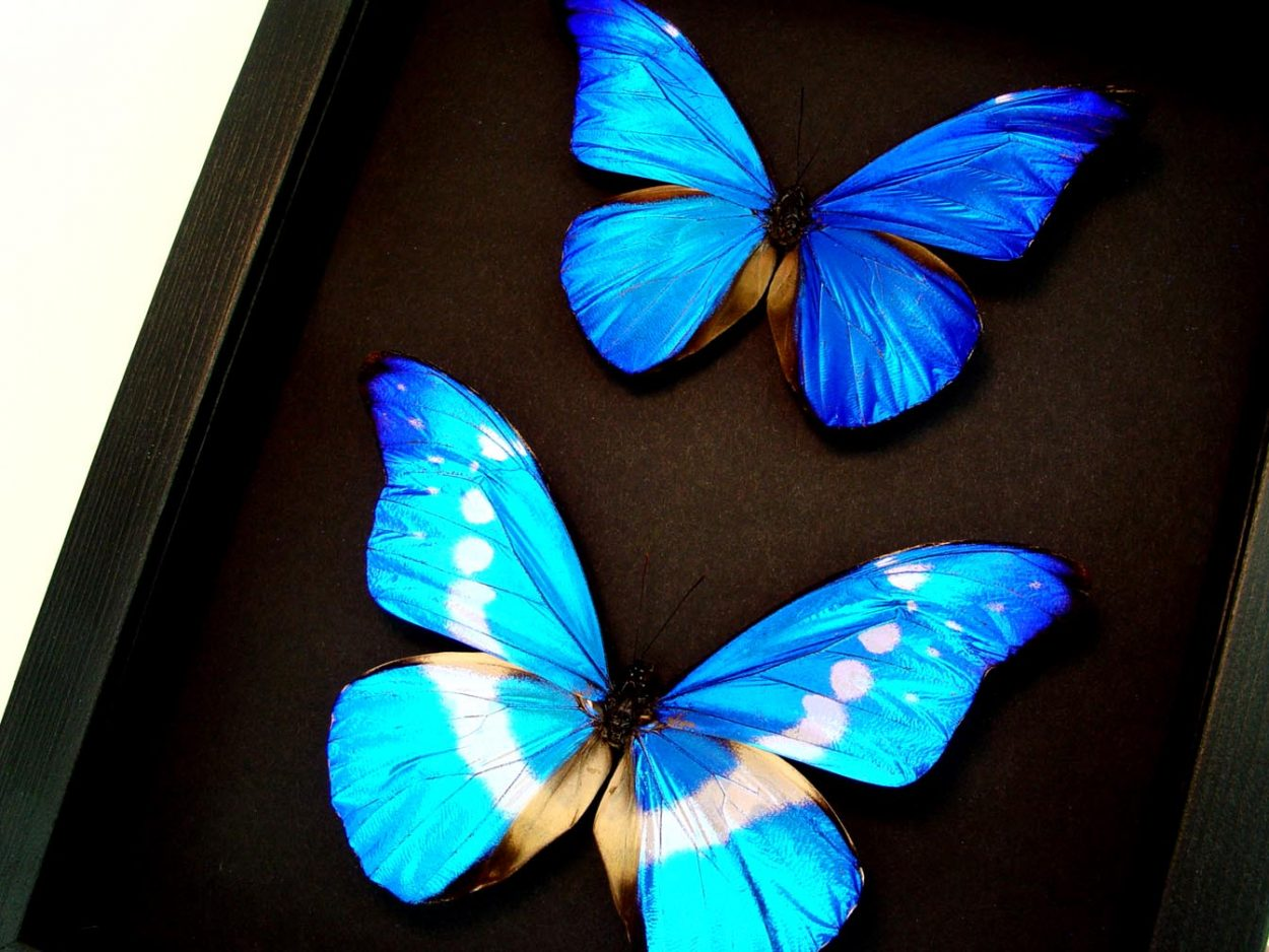 Framed Blue Morpho Butterfly Set Moonlight Display ooak