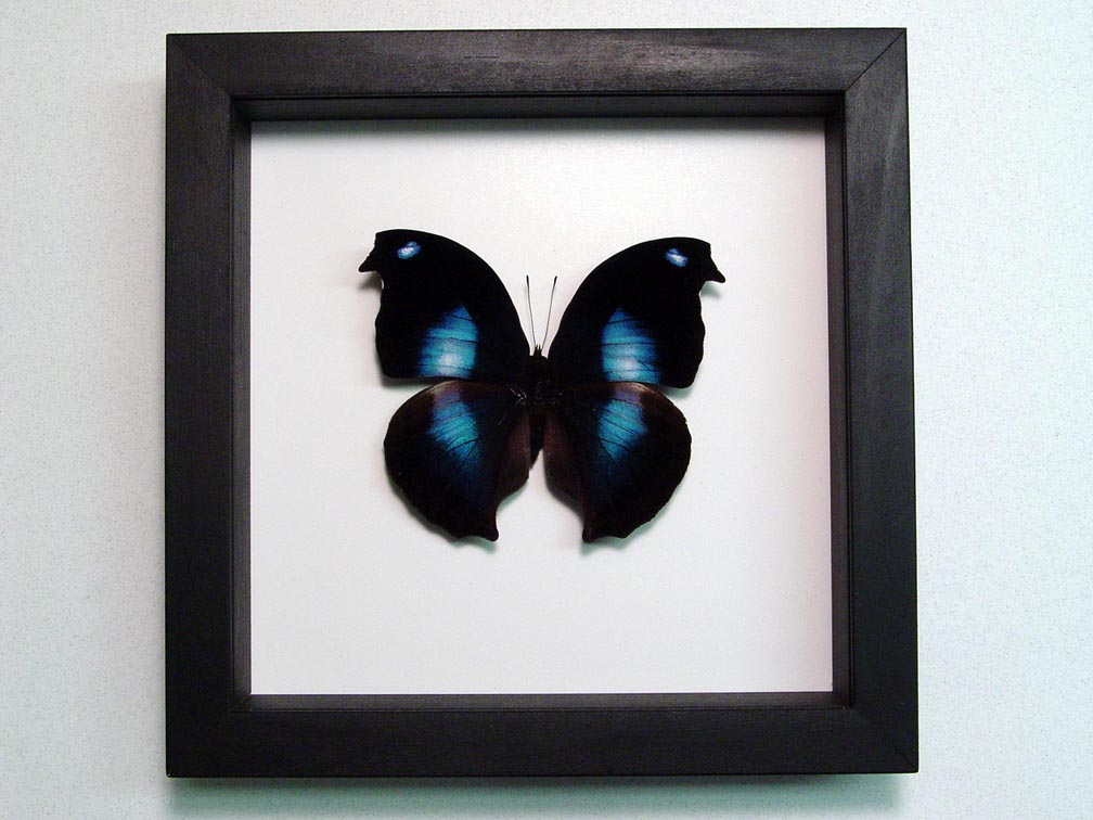 Napeocles jucunda Blue Hatchet wing Framed Butterfly Classic Black Display