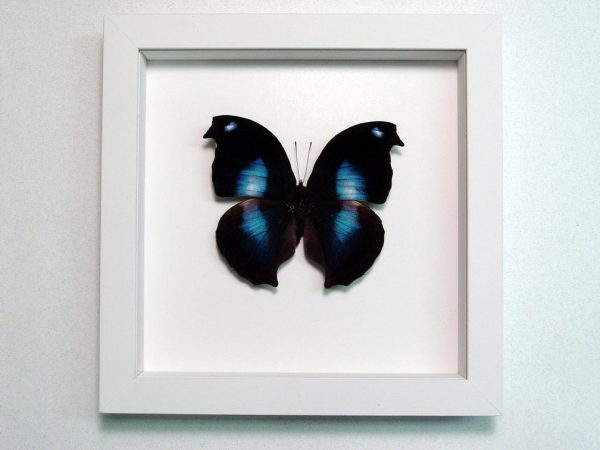 Napeocles jucunda Blue Hatchet wing Framed Butterfly Vibrant White Display