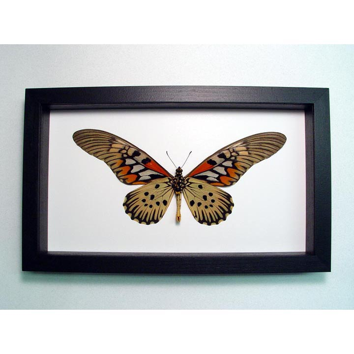 Papilio antimachus Verso World's Widest Wingspan African Butterfly Classic Black Display