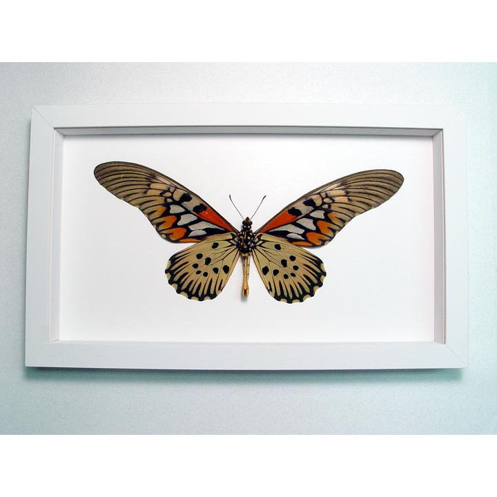 Papilio antimachus Verso World's Widest Wingspan African Butterfly Vibrant White Display