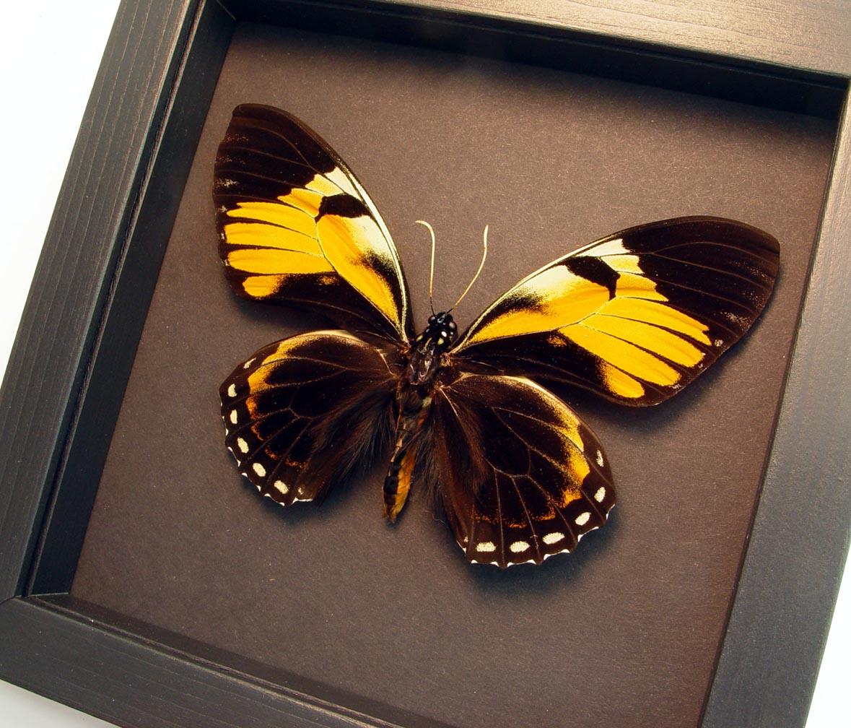 Papilio bachus Orange Mimic Butterfly Moonlight Display ooak