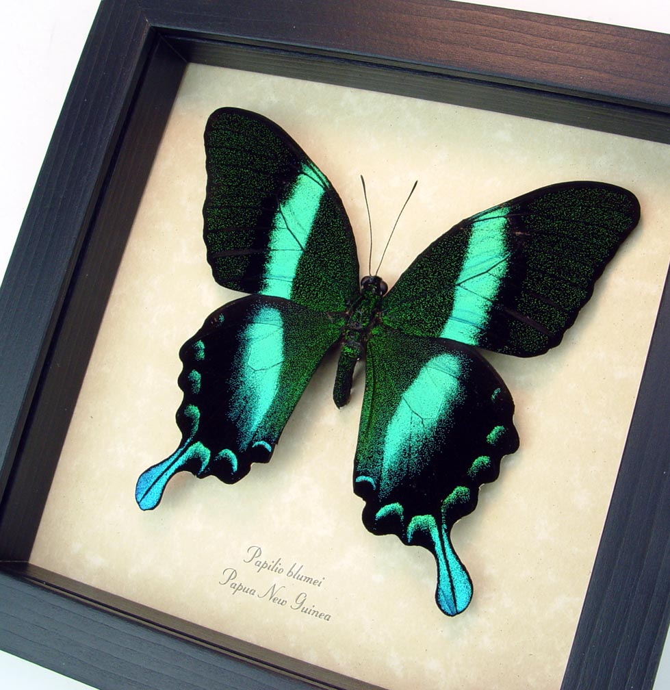 Framed Butterfly Papilio blumei Peacock Swallowtail ooak