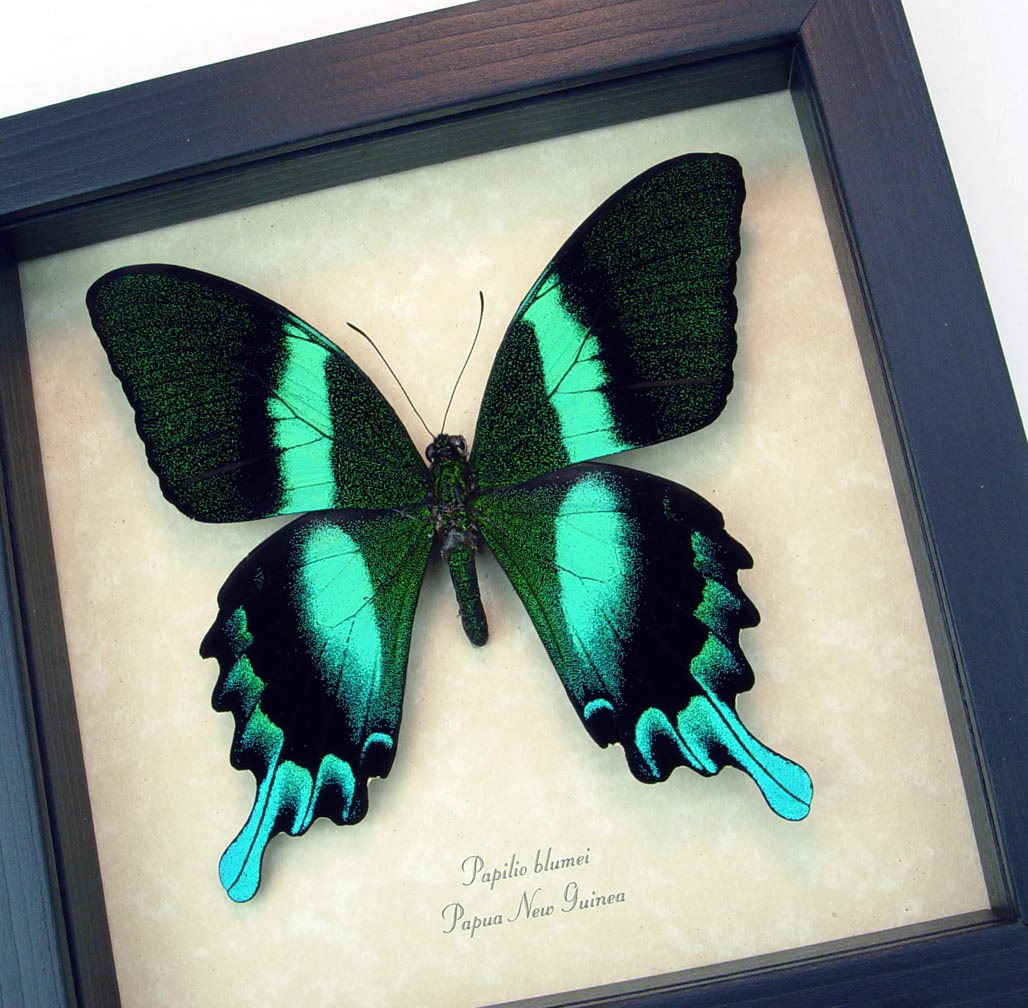 Peacock Swallowtail Framed Butterfly Papilio blumei  ooak