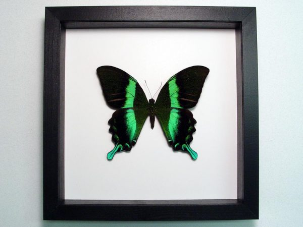 Papilio blumei Peacock Swallowtail Butterfly Classic Black Display