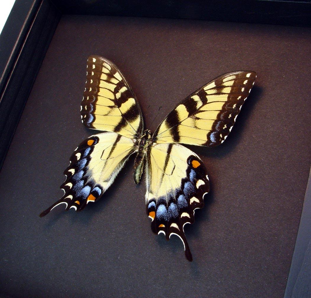 Papilio Glaucus Female XL Tiger Swallowtail Moonlight Display ooak