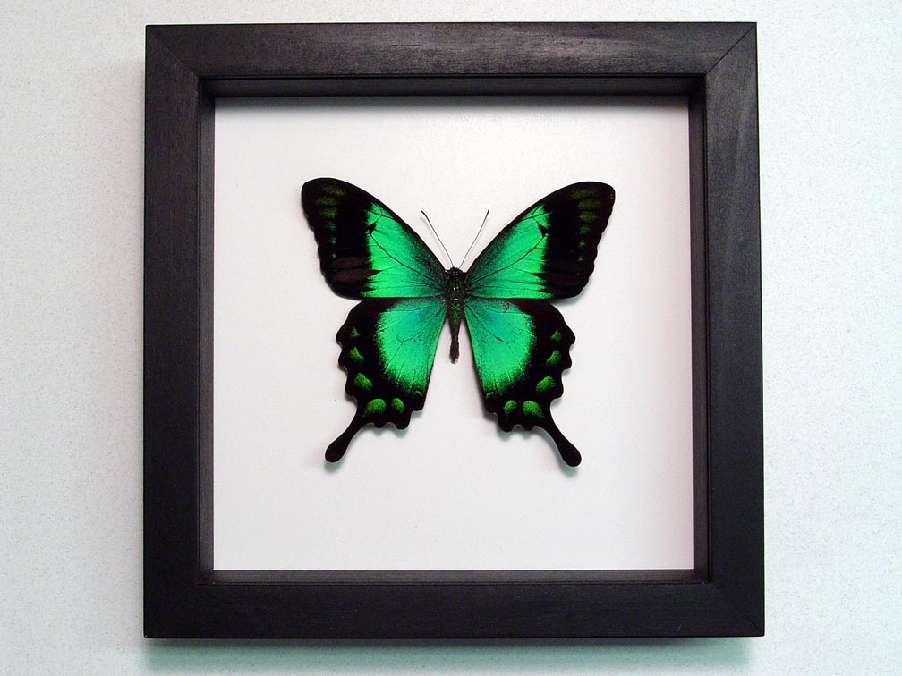 Papilio lorquinianus albertisi Green Swallowtail Butterfly Classic Black Display