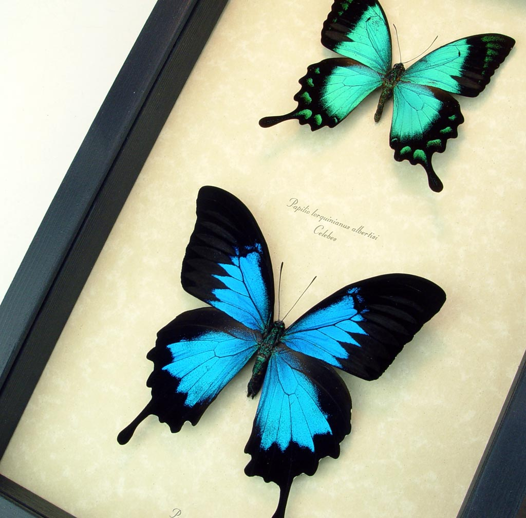Butterfly Collection Blue Green Swallowtail Butterflies ooak