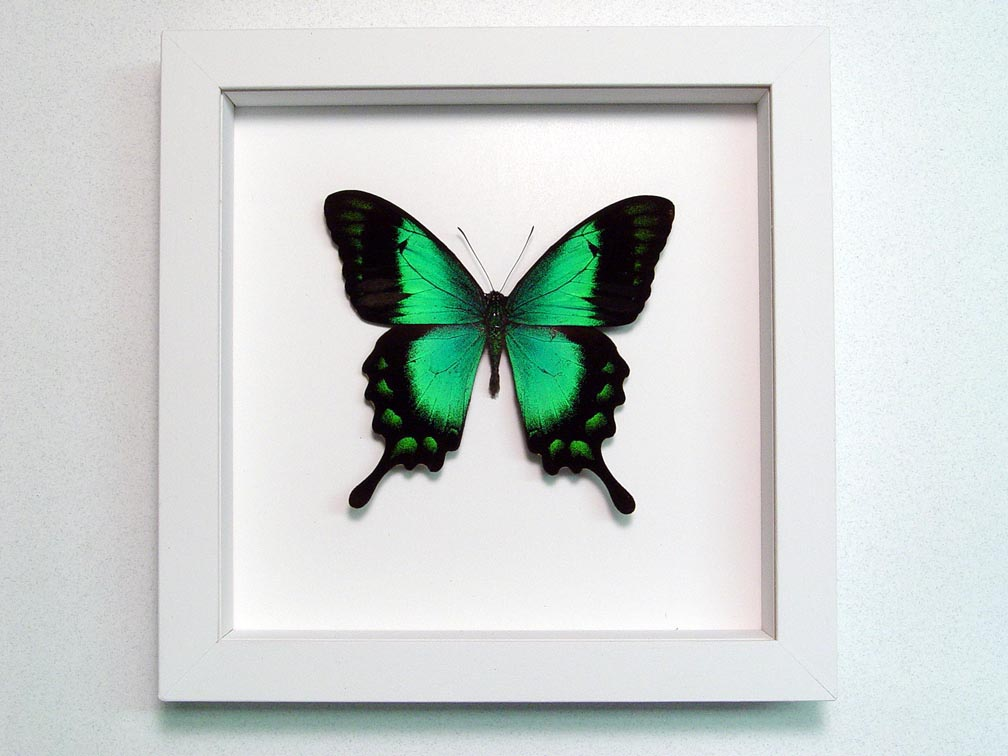 Papilio lorquinianus albertisi Green Swallowtail Butterfly Vibrant White Display