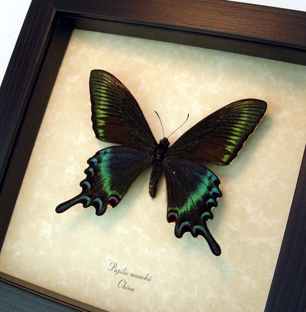 Framed Papilio maackii Alpine Black Swallowtail Butterfly ooak