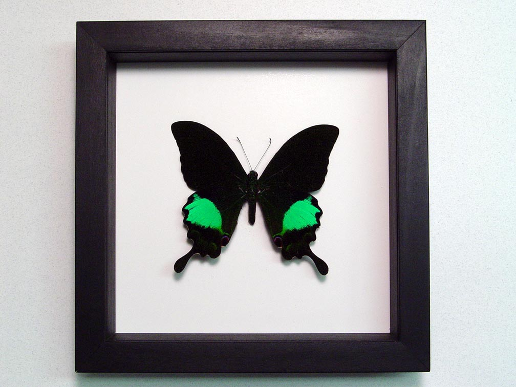 Papilio paris Peacock Swallowtail Green Butterfly Classic Black Display