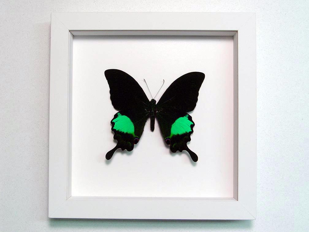 Papilio paris Peacock Swallowtail Green Butterfly Vibrant White Display