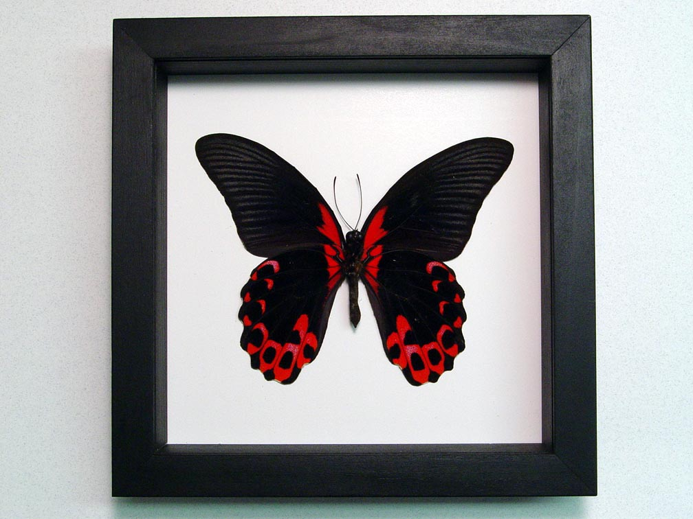 Papilio rumanzovia verso Scarlet Mormon Butterfly Classic Black Display
