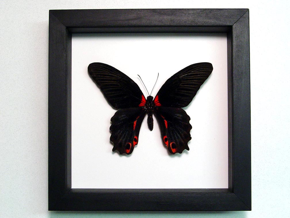 Papilio rumanzovia Female Scarlet Mormon Butterfly Classic Black Display