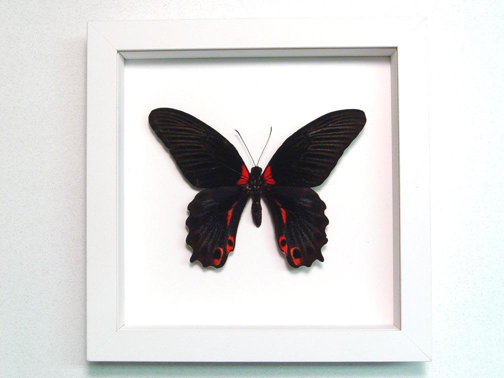 Papilio rumanzovia Female Scarlet Mormon Butterfly Vibrant White Display