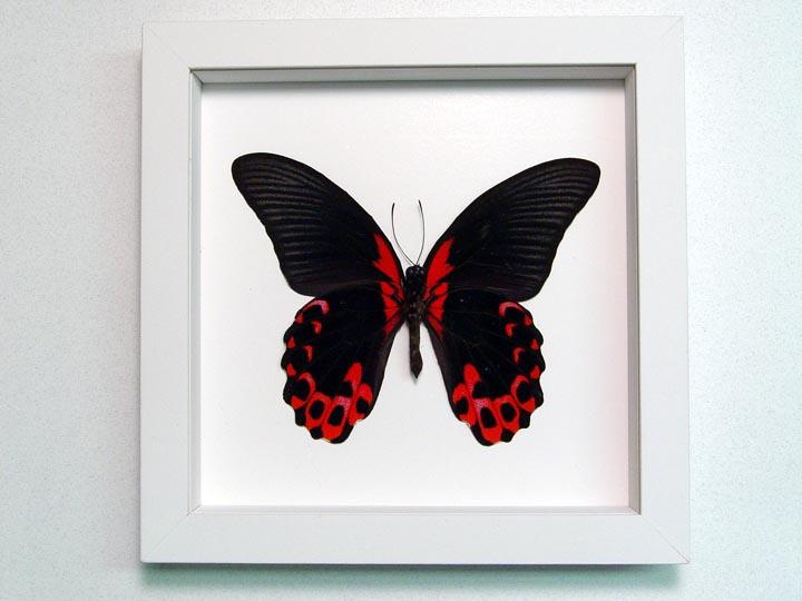 Papilio rumanzovia verso Scarlet Mormon Butterfly Vibrant White Display