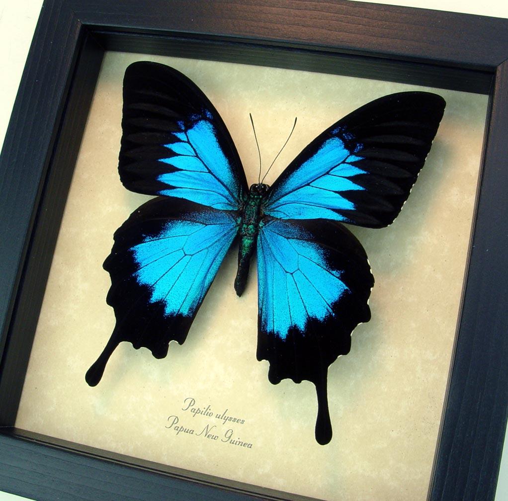 Framed Papilio ulysses Blue Mountain Swallowtail Butterfly ooak