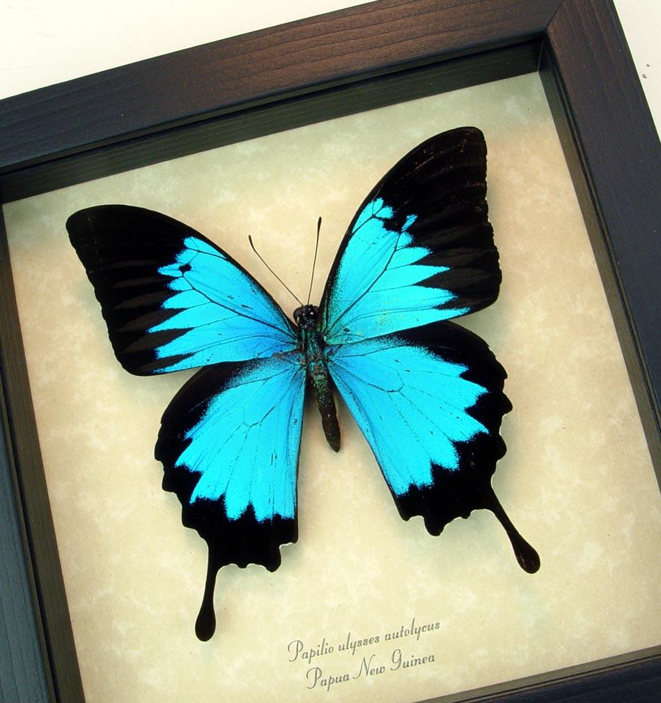 Blue Mountain Swallowtail Framed Butterfly ooak