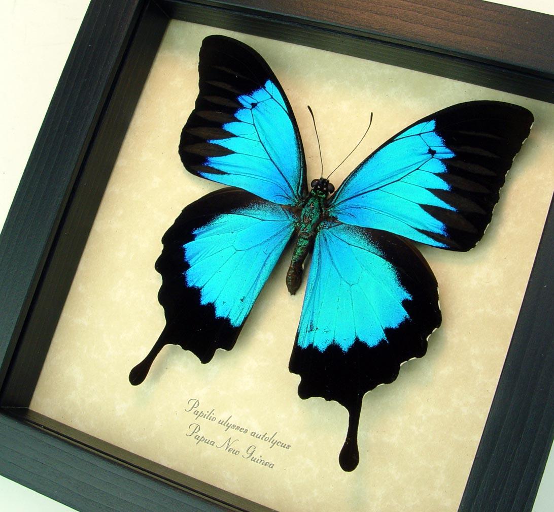 Blue Mountain Swallowtail Framed Butterfly Art ooak