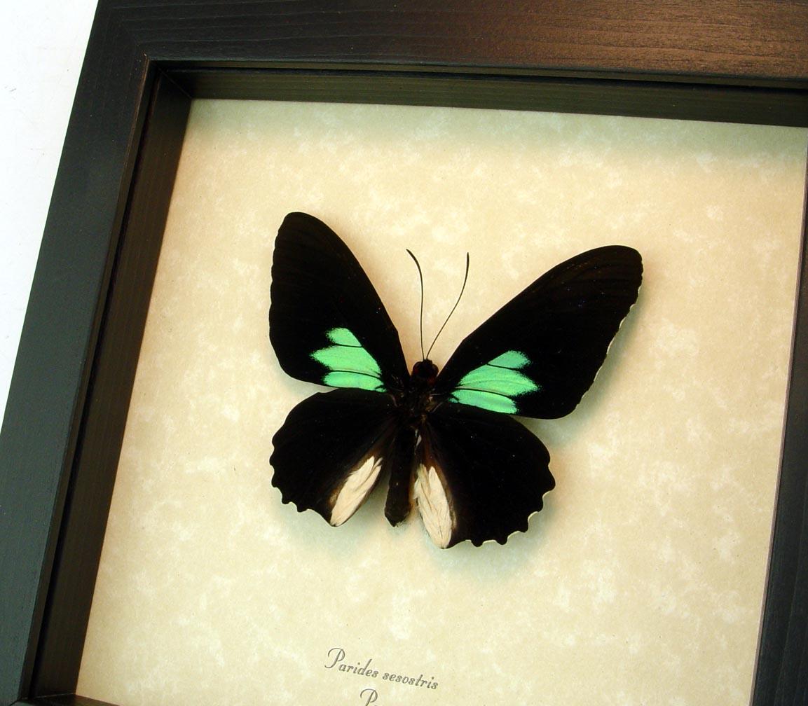 Parides sesostris Emerald Patched Cattleheart Framed Butterfly ooak
