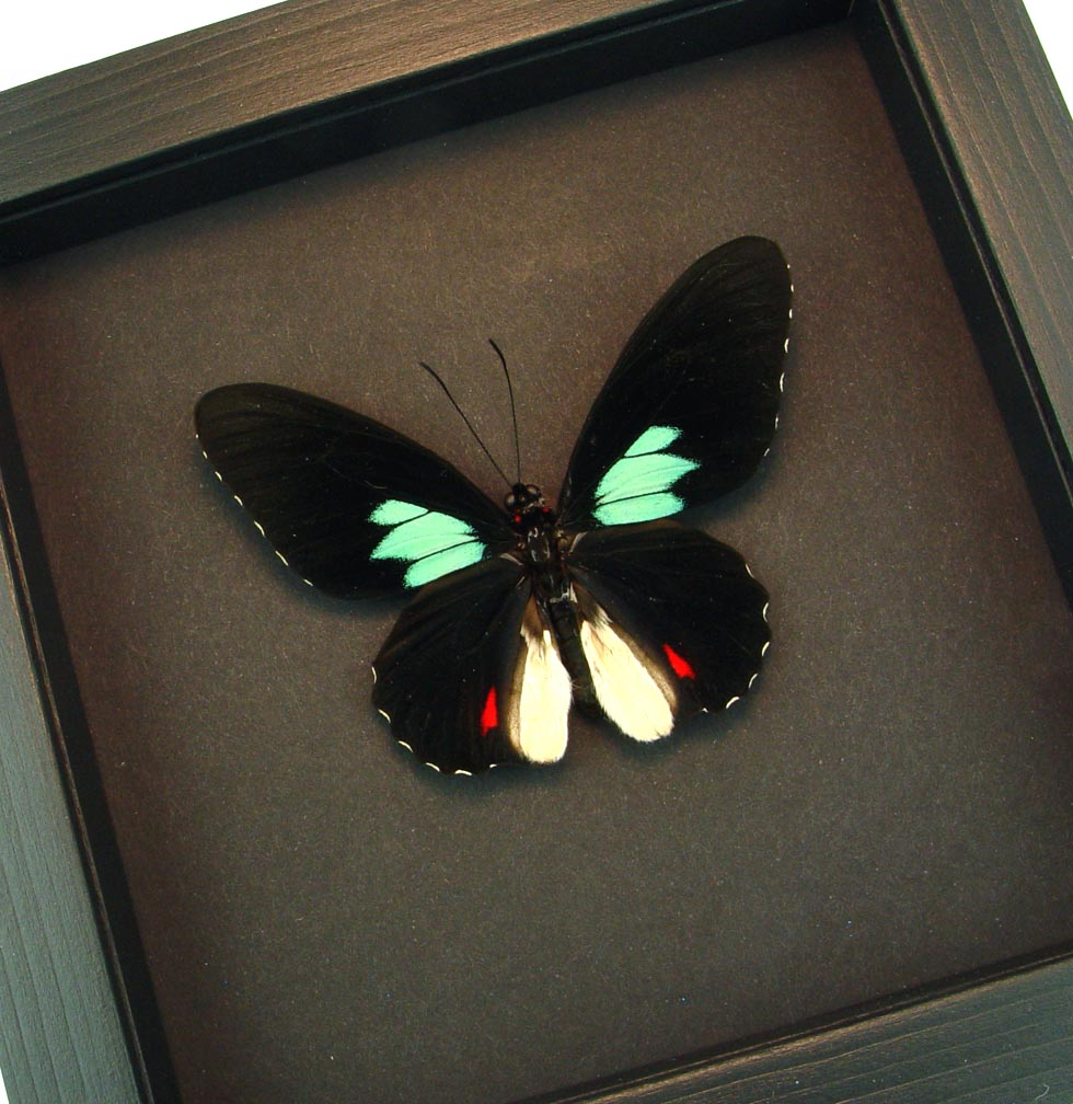 Parides sesostris Emerald Patched Cattleheart Moonlight Display ooak