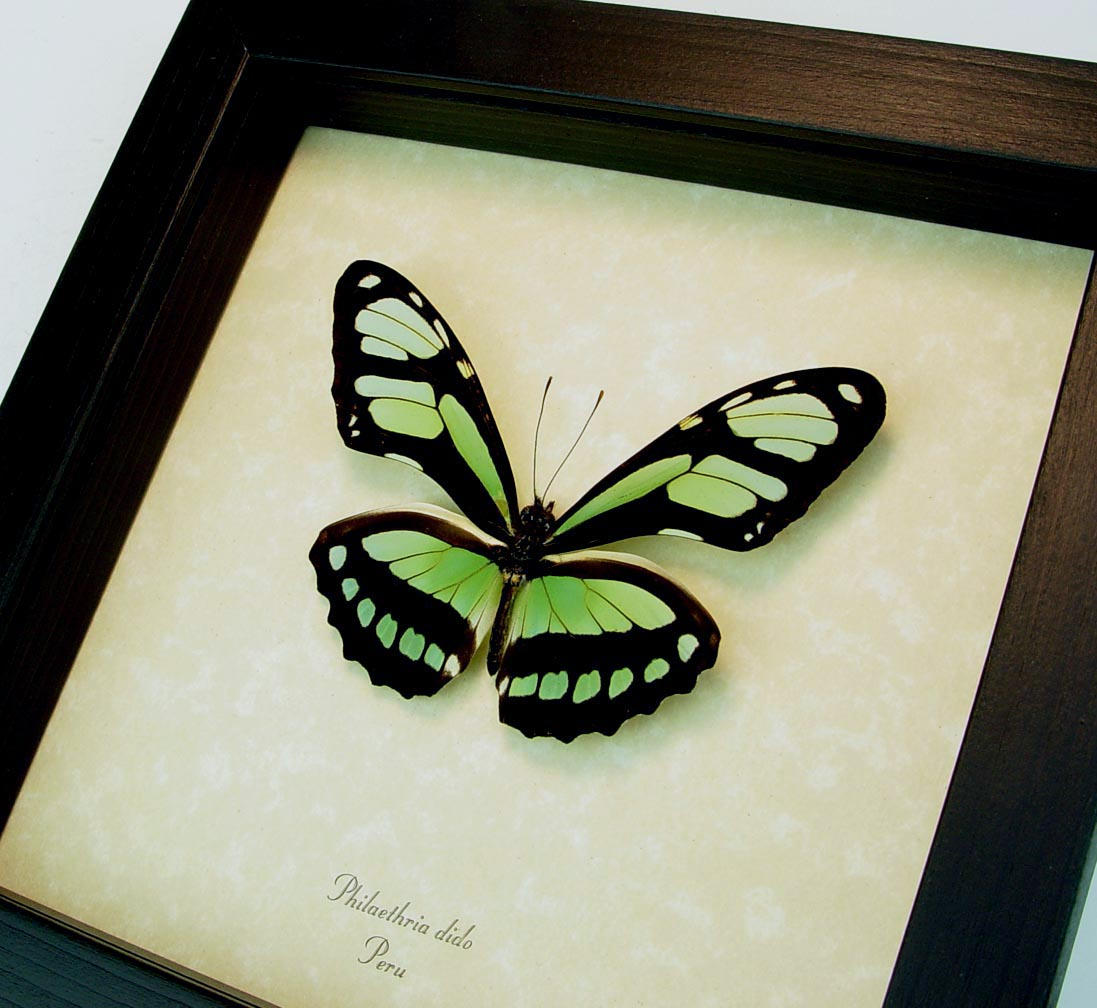 Philaethria dido Scarce Bamboo Page Green Butterfly ooak