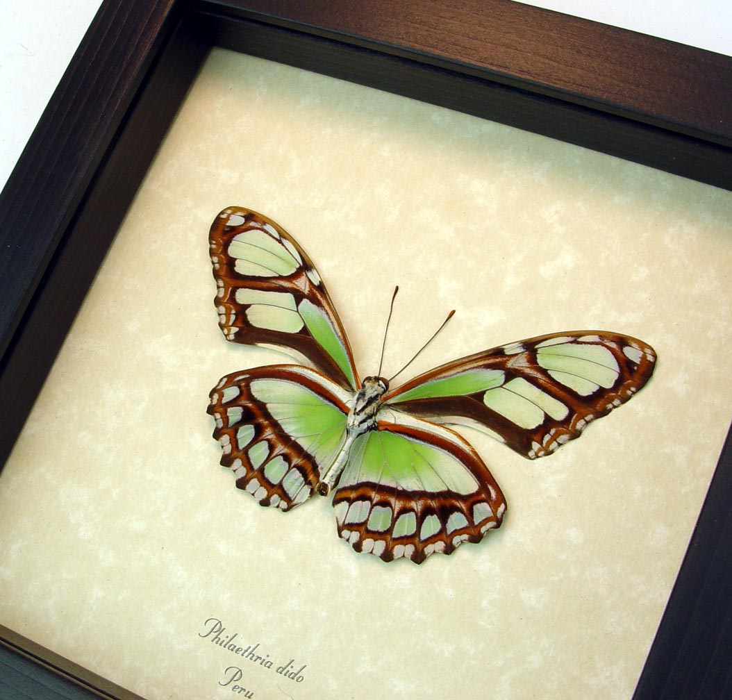 Philaethria dido Verso Scarce Bamboo Page Green Butterfly ooak