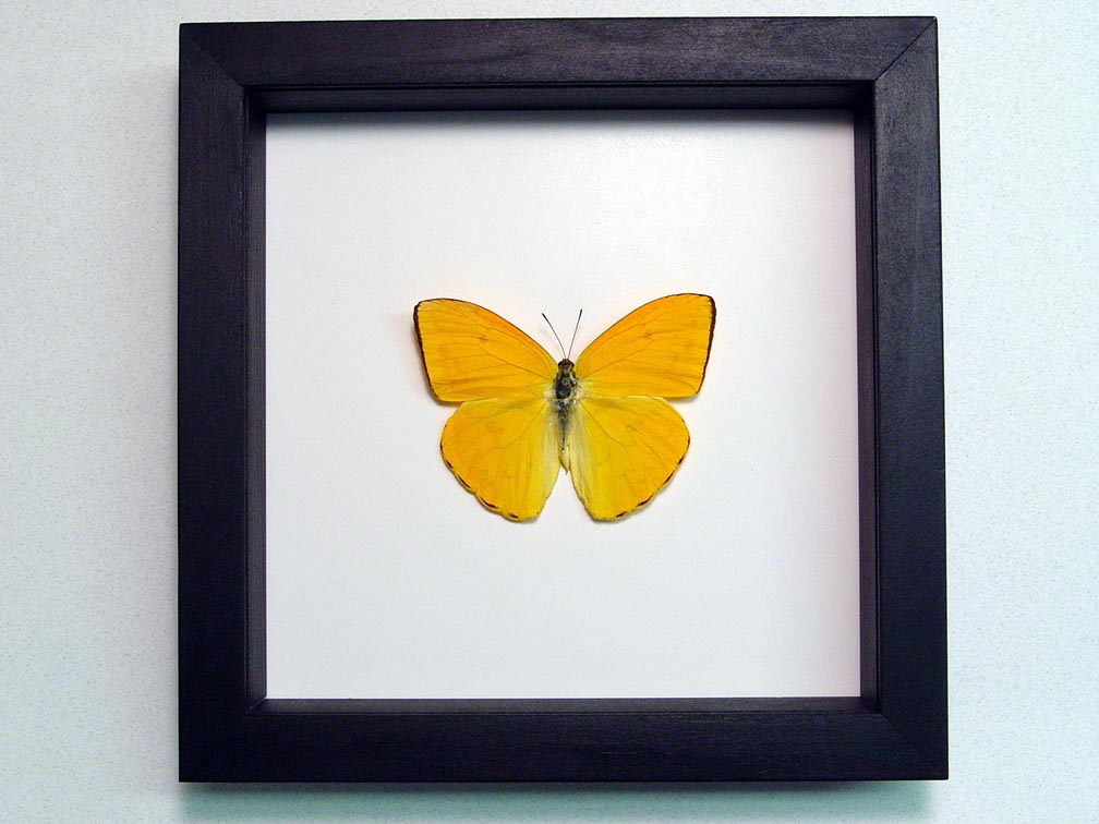 Phoebis argante Orange Sulpher Butterfly Classic Black Display
