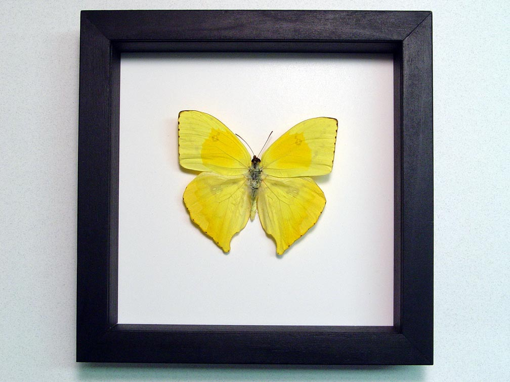 Phoebis rurina Teardrop Sulpher Yellow Butterfly Classic Black Display
