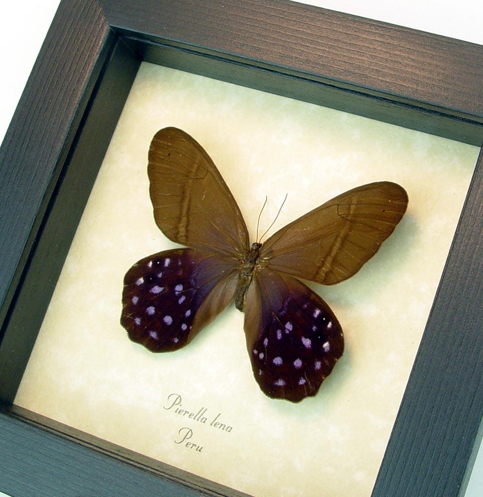 Pierella lena Purple Satyrinae Butterfly ooak
