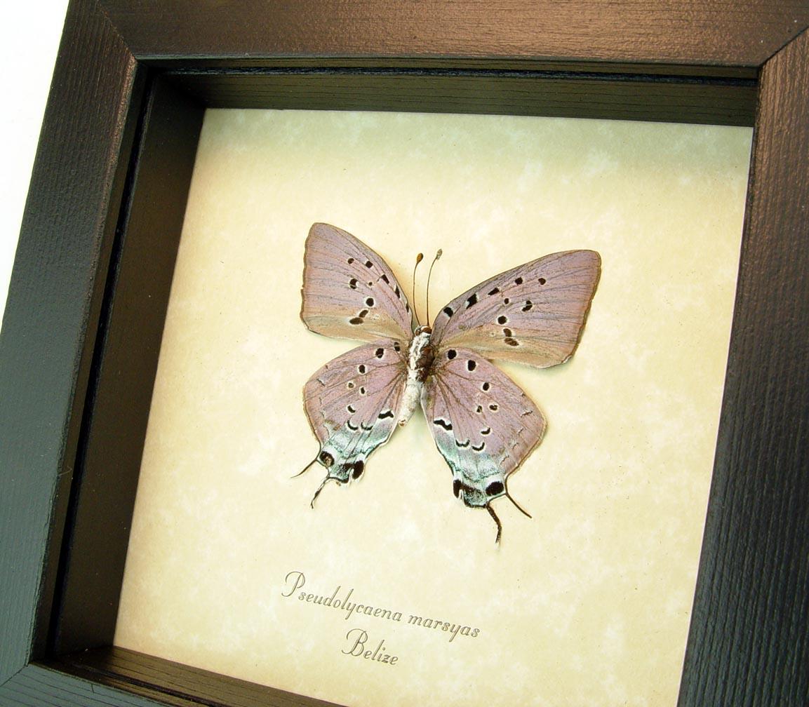 Pseudolycaena marsyas Verso Cambridge Blue Framed Butterfly ooak