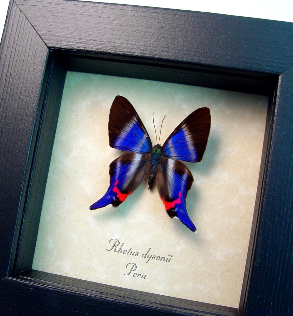 Rhetus dysonii Blue Swallowtail Butterfly ooak