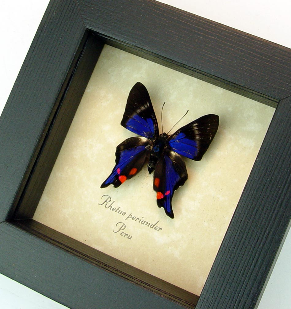Blue Swallowtail Butterfly Framed Rhetus periander ooak